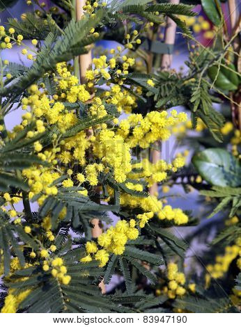 Yellow Branch Of Mimosa Flowers In March