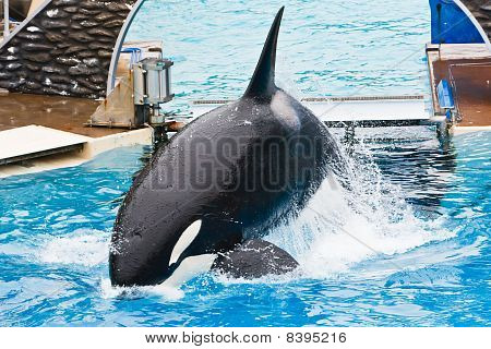 Shamu The Killer Whale At Seaworld