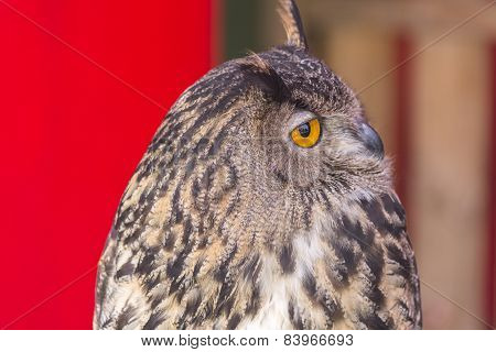 The Eurasian eagle-owl (Bubo bubo) species of eagle-owl resident in much of Eurasia poster