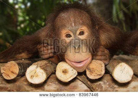 Young Orangutan Smile On The Branch