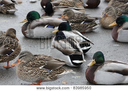 Mallards- Drakes & Hens on Ice (Anas platyrhynchos)