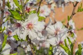 Almond bloom in spring in a sunny day poster