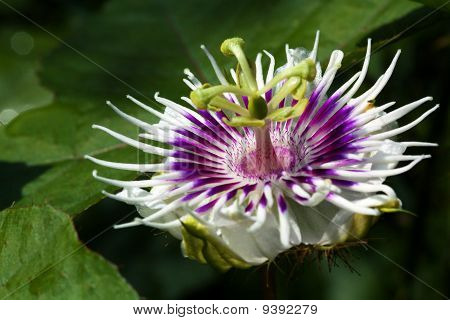 close up white passion fruit flower