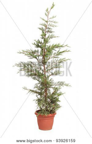 Vertical shot of a Potted Leyland Cypress evergreen tree isolated on white background