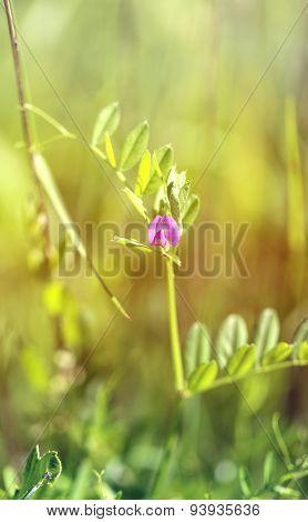 Beautiful Wild Flower Murine Peas
