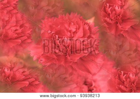 Carnation  background
