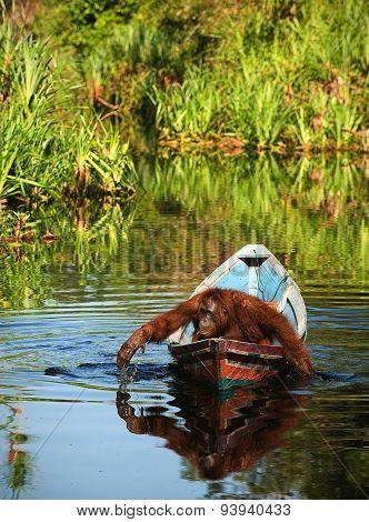orangutan floats in a boat