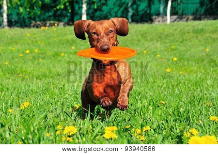 Dog breed standard smooth-haired dachshund. The dog is running. Dachshund brings in its mouth a boom