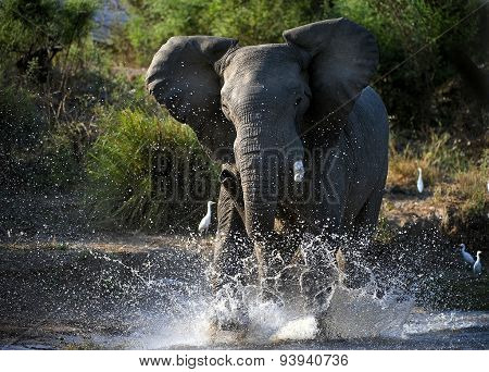 Elephant Have angered.