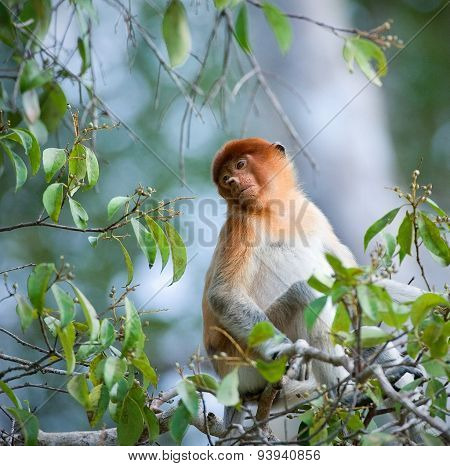Nasalis larvatus (Long-nosed Monkey, Proboscis Monkey)