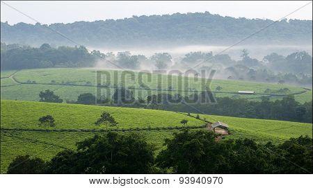 Morning fog over tea plantations Bwindi.