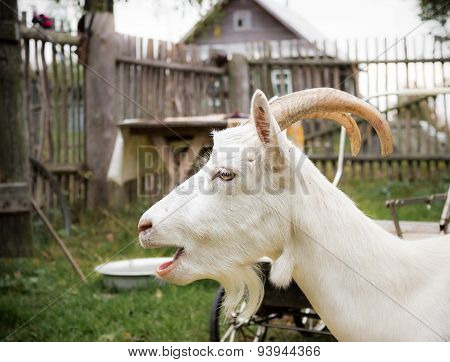 White goat