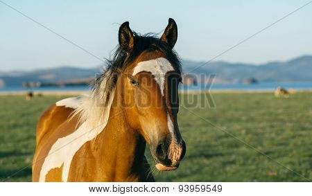 Sad And Resentful Horse In The Nature Reserve Of Lake Baikal