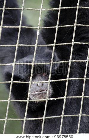 Siamang Gibbon Monkey portrait.
