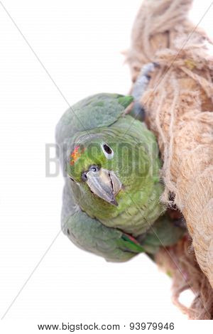 Mealy Amazon isolated on white