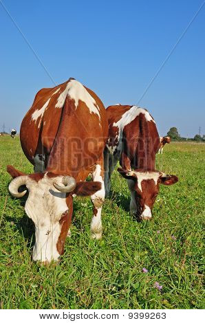 poster of Cows on a summer pasture in a rural landscape under the dark blue sky.
