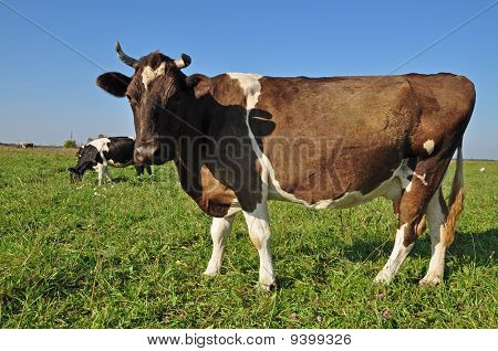 poster of Cow on a summer pasture in a rural landscape under the dark blue sky.