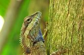 chameleon or lizard species of thailand country. poster