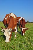 Cows on a summer pasture in a rural landscape under the dark blue sky. poster