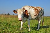 Cow on a summer pasture in a rural landscape under the dark blue sky. poster