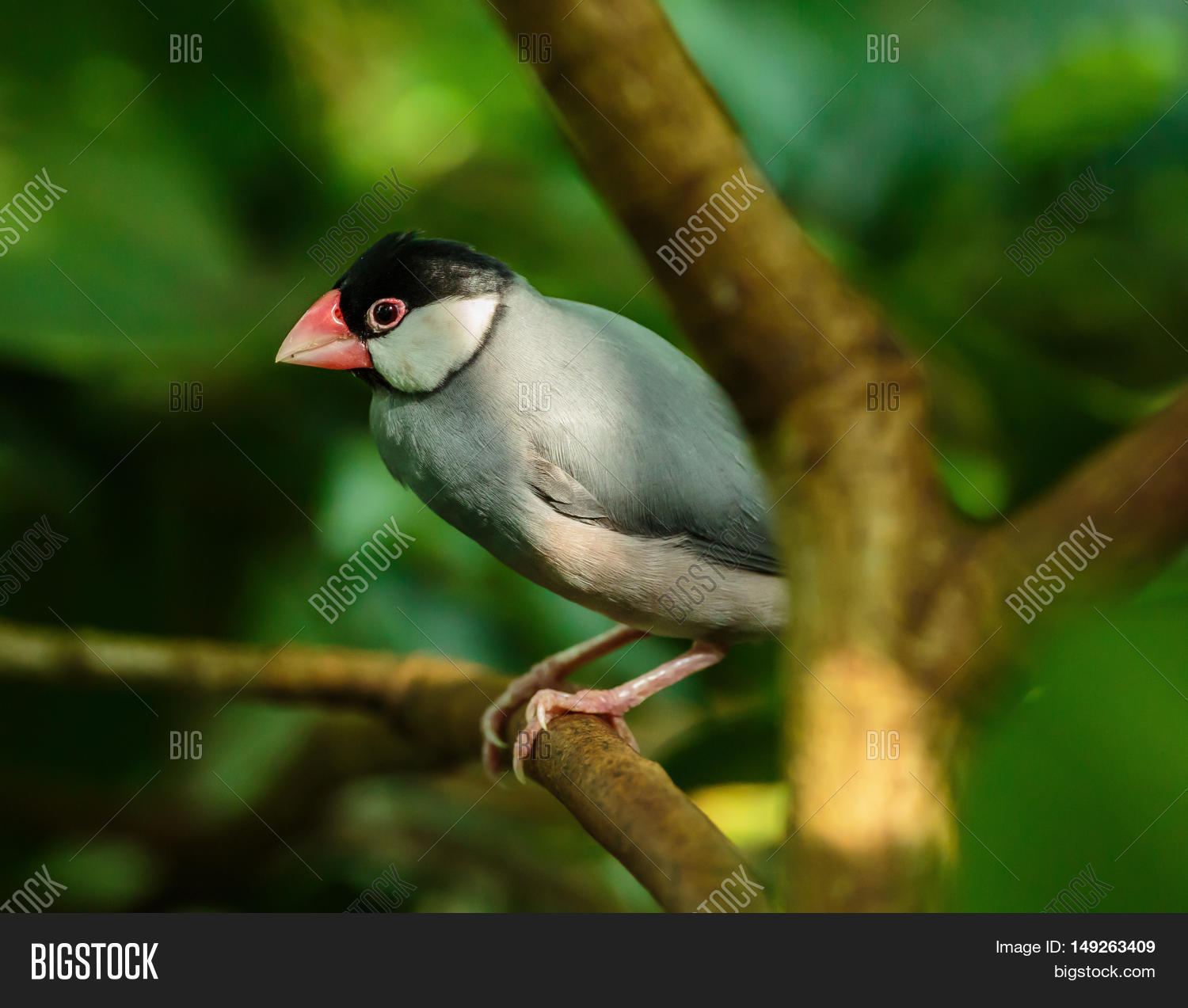 Java Sparrow On Branch Image & Photo (Free Trial) | Bigstock