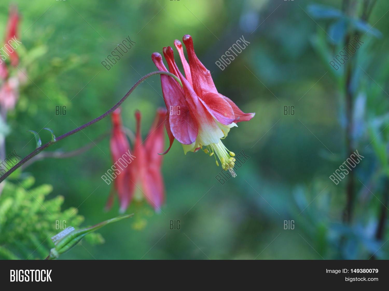 Columbine Flower Early Image Photo Free Trial Bigstock