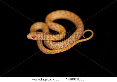 Creamsicle Corn Snake (Elaphe guttata guttata) isolated on black background.