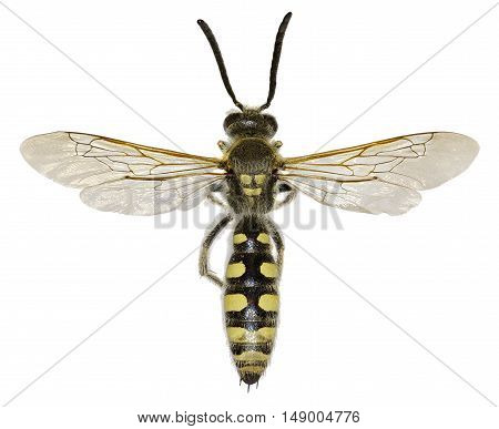 Mammoth Wasp on white Background  -  Colpa sexmaculata  (Fabricius, 1781)