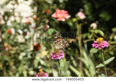 Thistle butterfly (Cynthia cardui) sitting on a flower picture from Croatia.