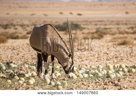 Oryx Smelling At Desert Melon