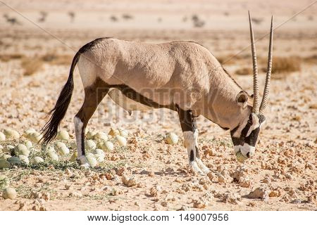 A single oryx lifts a desert melon in it's mouth at the wild horses view point near Aus in Namibia.