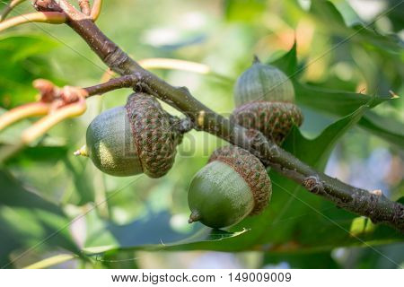 Green acorn nuts on oak tree branches in forest