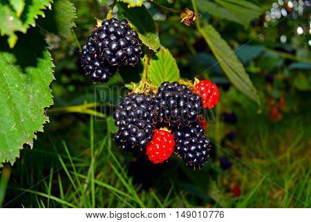 Bunch of ripe and unripe blackberries on the bush with selective focus.