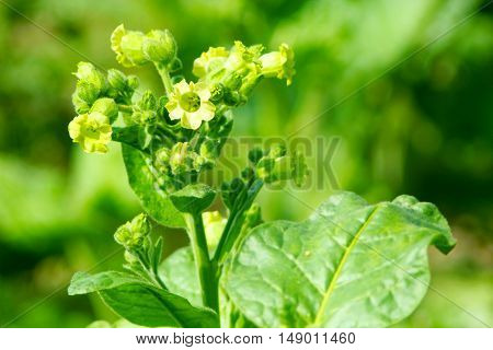 blossoming tender flowers of tobacco in the plantation
