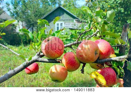 branch of ripe red apples hanging on the tree near the country-house