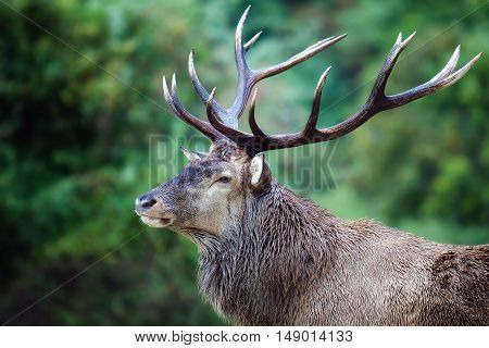 The first floor of a stately Italian deer. Male specimen with majestic antlers on his head in the background the green forest.
