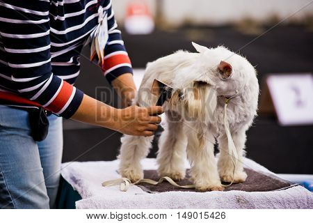 Groomer combing Miniature Schnauzer before dog show