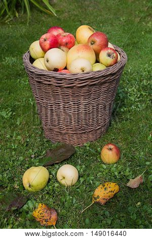 Wicker Basket With Picked Apples