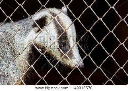 Poor and unhappy animal Badger in a cage behind bars in the nursery.