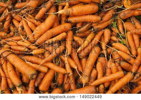 Background with the bunches of fresh carrots