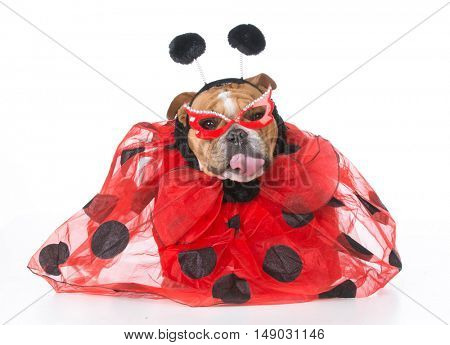 english bulldog wearing ladybug costume on white background