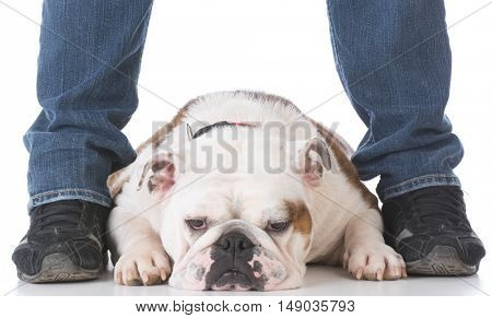 bulldog laying down between legs of owner on white background