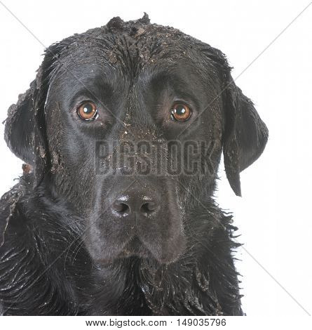 dirty muddy dog looking at viewer on white background