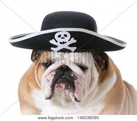 english bulldog wearing pirate hat isolated on white background