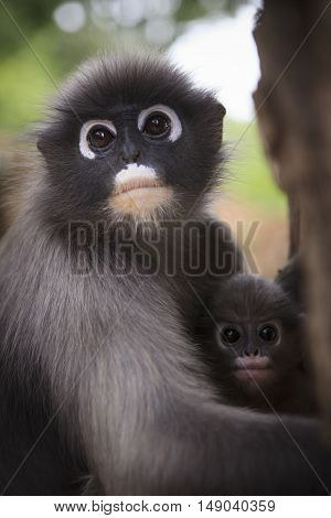 close up mother face of dusky leaf monkey and new kid in warming hug