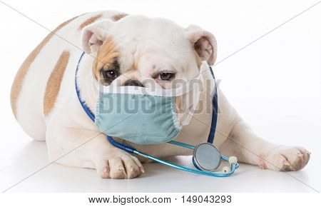english bulldog wearing stethoscope on white background