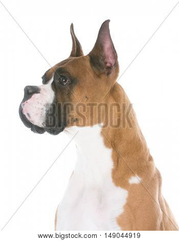 boxer head portrait isolated on white background