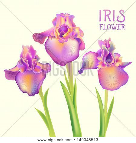 Iris fleur-de-lis flowers isolated on white vector illustration