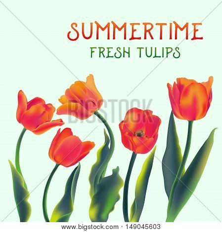 Fresh tulip flowers isolated on white vector illustration