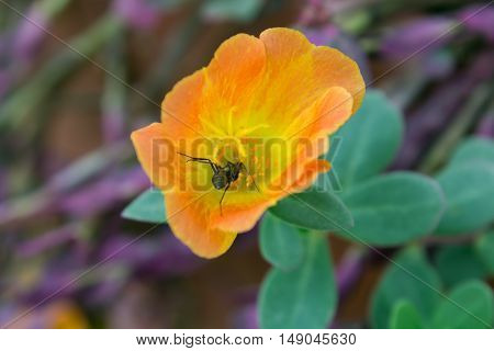 Common Purslane, Verdolaga, Pigweed, Little Hogweed or Pusley flower